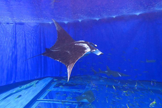 沖繩潛水大鬼蝠魟