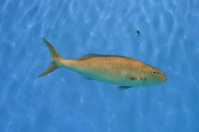 沖繩潛水藍笛鯛