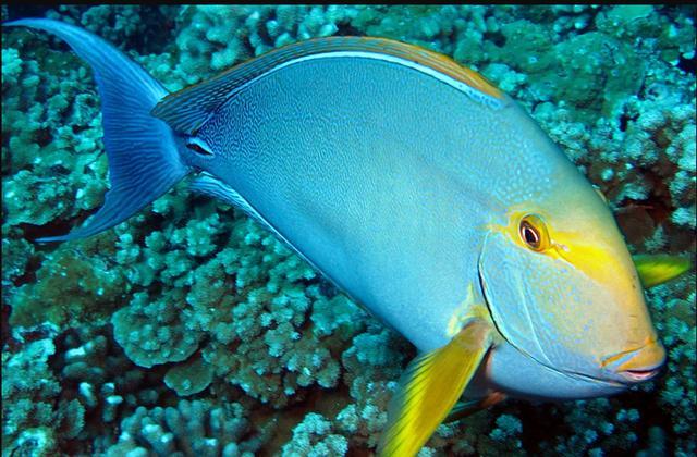 沖繩潛水黃鰭刺尾鯛