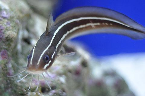沖繩潛水日本鰻鯰