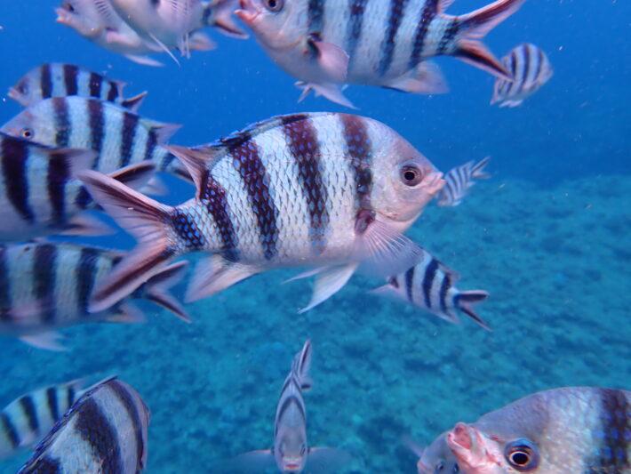 沖繩青洞 條紋豆娘魚 藍洞潛水 浮潛