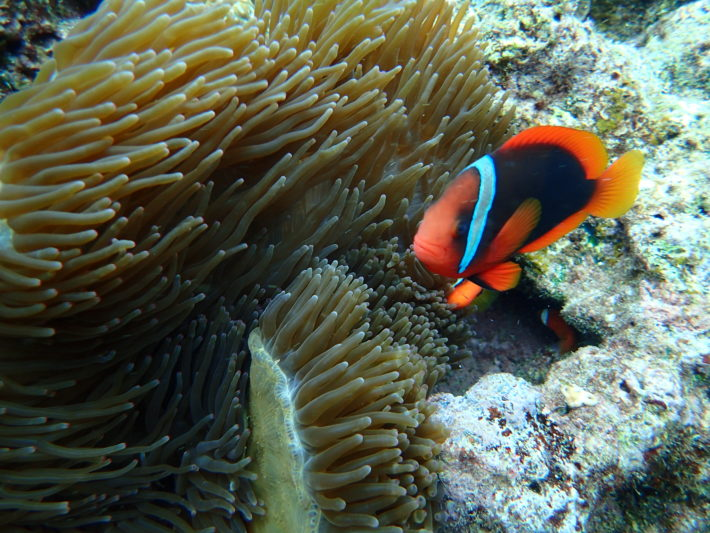 沖繩潛水小丑魚