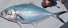 沖繩潛水大尾鰺