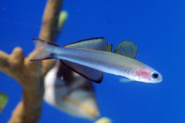 沖繩潛水黑尾鰭塘鱧