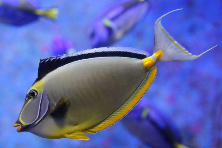 沖繩潛水黑背鼻魚