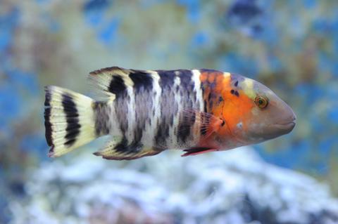 沖繩潛水橫帶唇魚