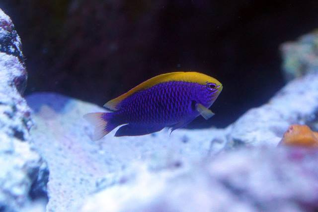 沖繩潛水史氏金翅雀鯛