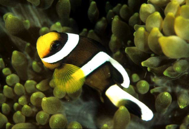 沖繩潛水推薦小丑魚