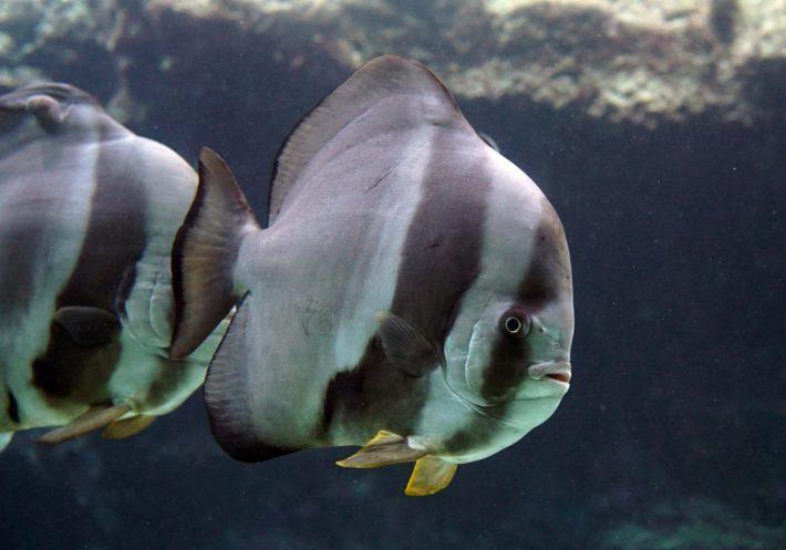 沖繩潛水尖翅燕魚