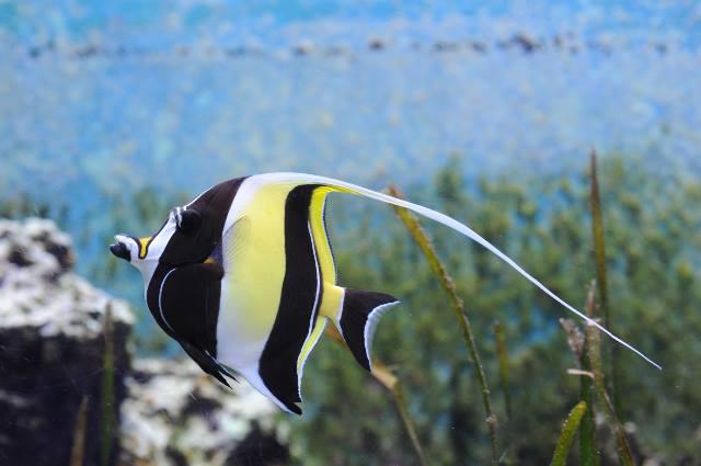 沖繩潛水角鐮魚